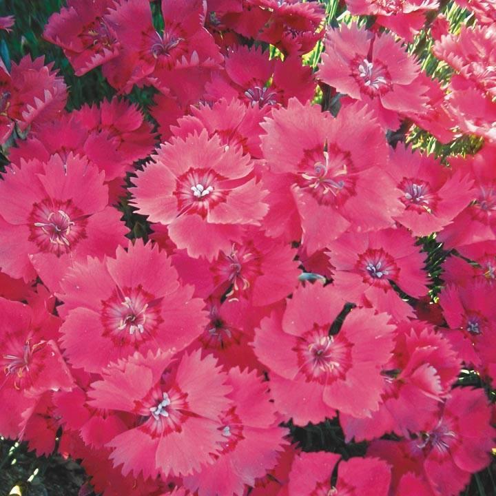 Гвоздика садовая многолетняя: размножение, выращивание и уход (фото)