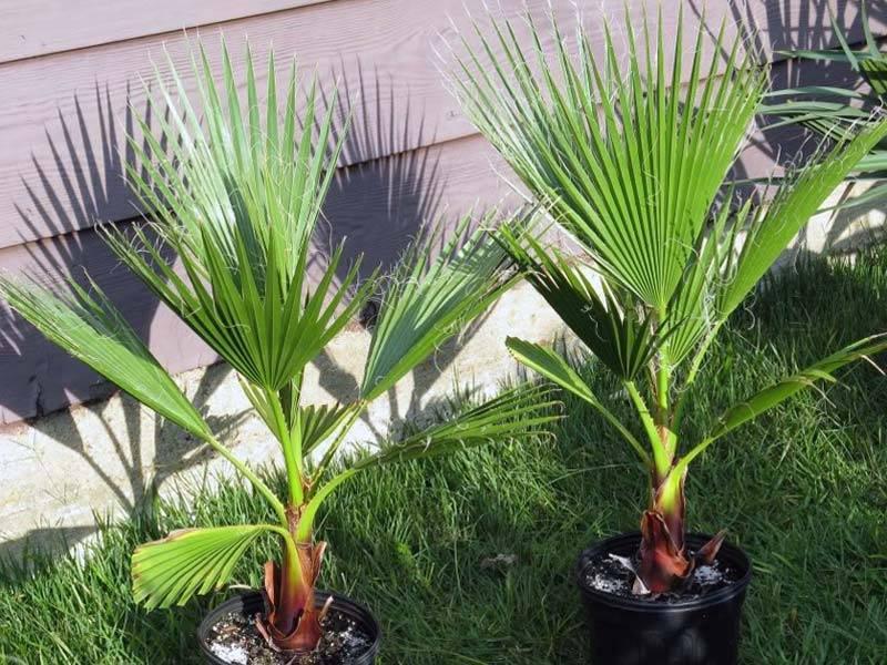 Пальма домашняя – разнообразие видов и тонкости выращивания