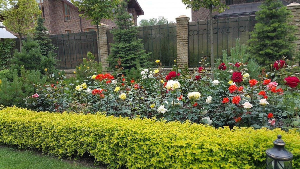 Бордовые розы: особенности, сорта и использование в ландшафтном дизайне