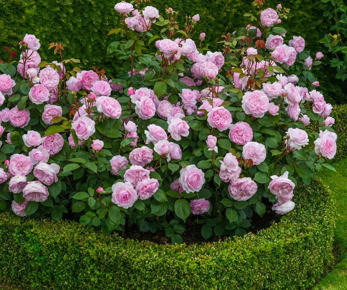 Выращивание английской сортовой розы херитейдж: как ухаживать за «остинкой»