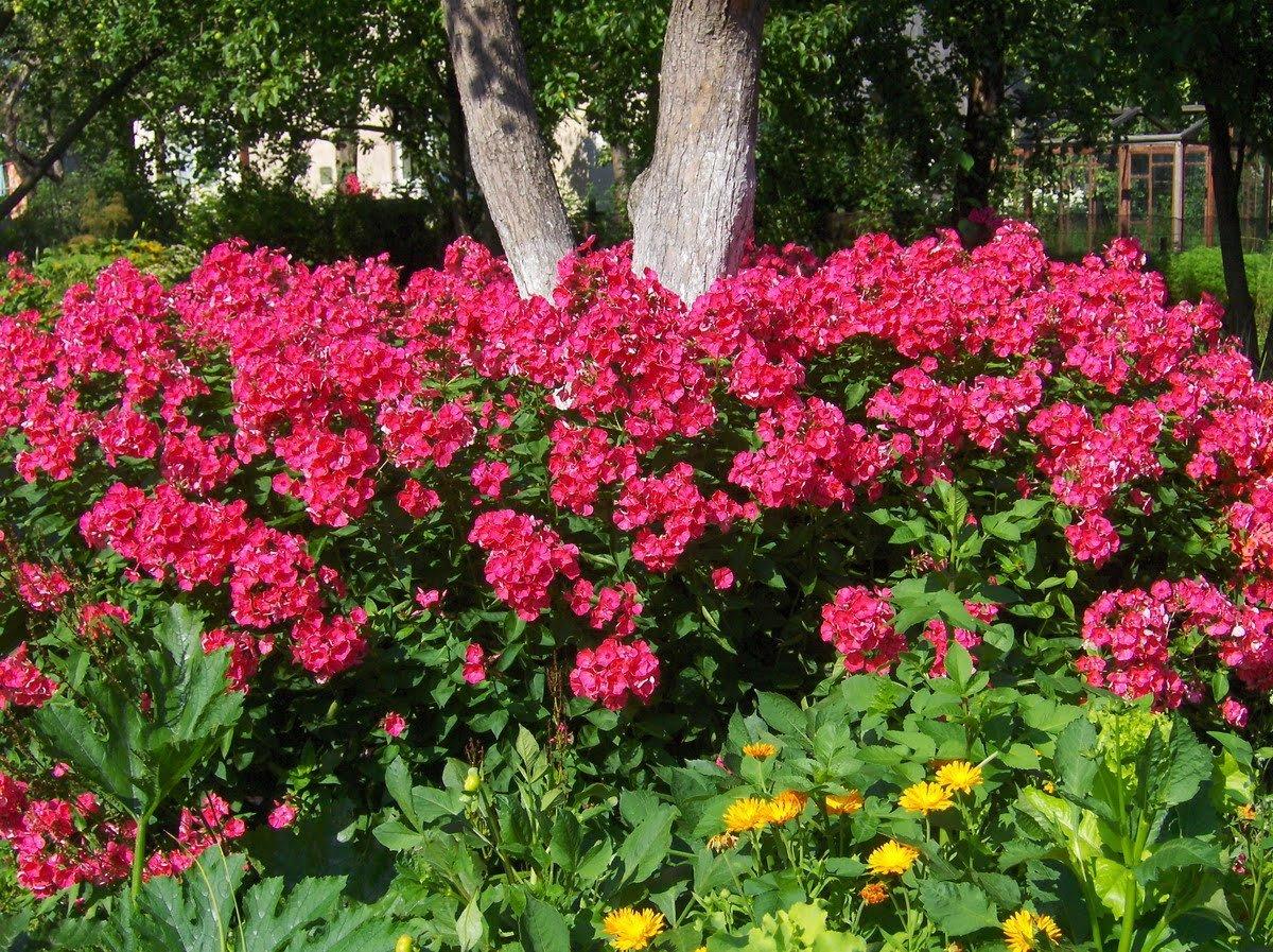 Как сохранить флоксы до посадки весной в открытый грунт