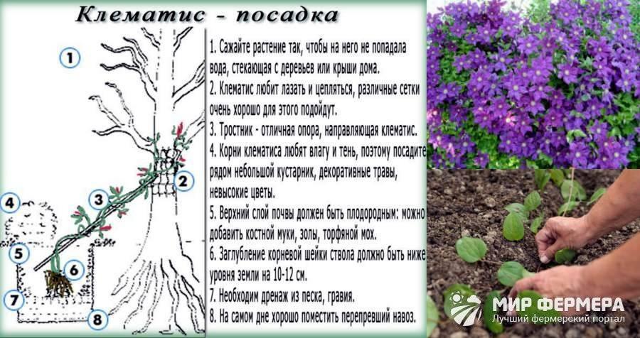 Как посадить клематис в открытый грунт, уход, советы по выращиванию начинающим