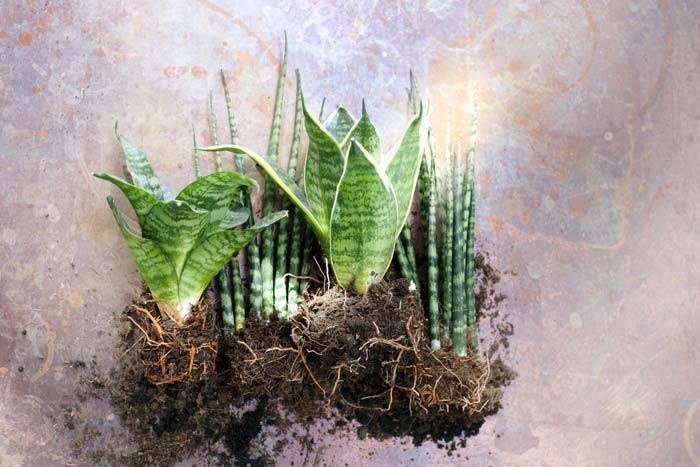 В каком грунте выращивать сансевиерию? состав почвы, уход, и иные советы