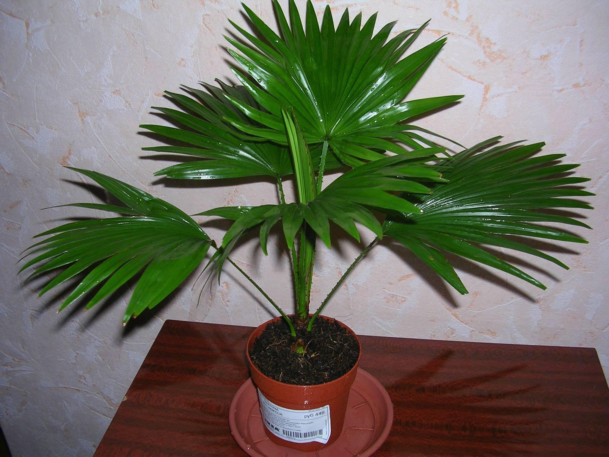 Ливистона (livistona): как выращивать комнатное растение