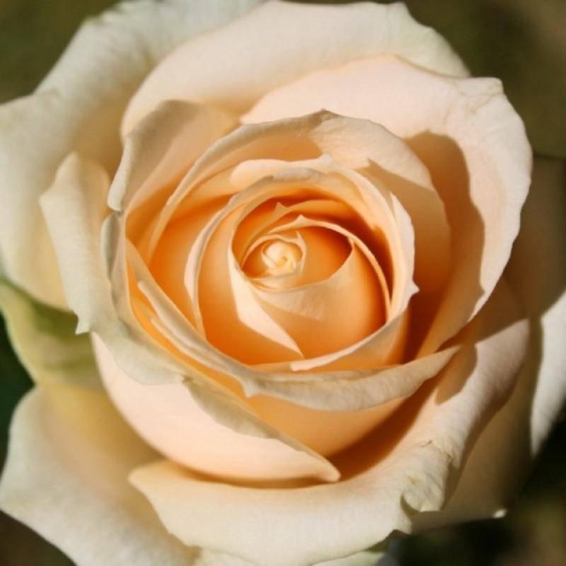 Розы чайно-гибридные: описание сортов, посадка и уход, обрезка, фото