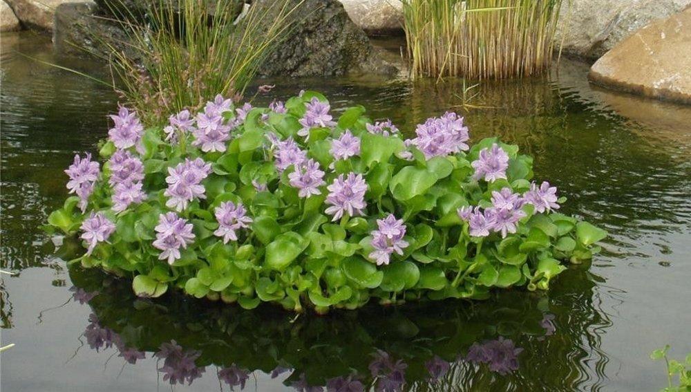 Водяной гиацинт или эйхорния прекрасная: как вырастить чудо в своем пруду