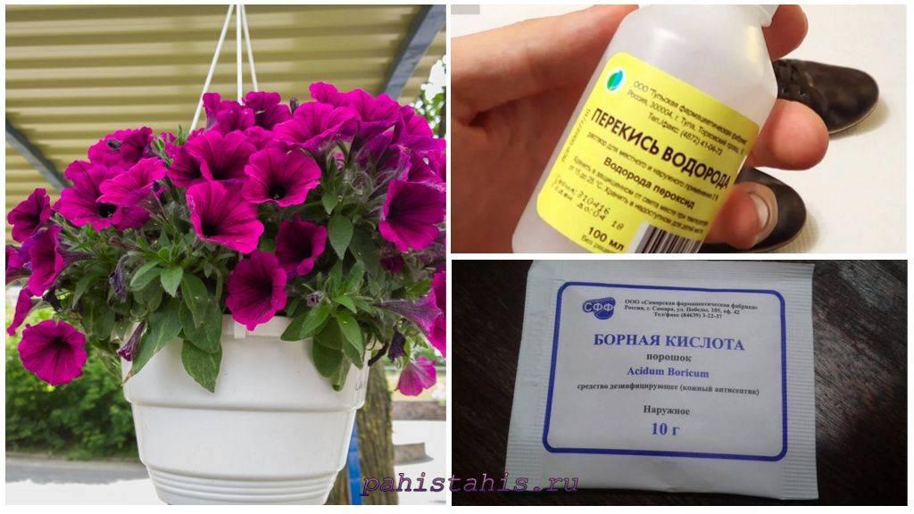 Чем подкормить петунию для обильного цветения: какие удобрения использовать, советы