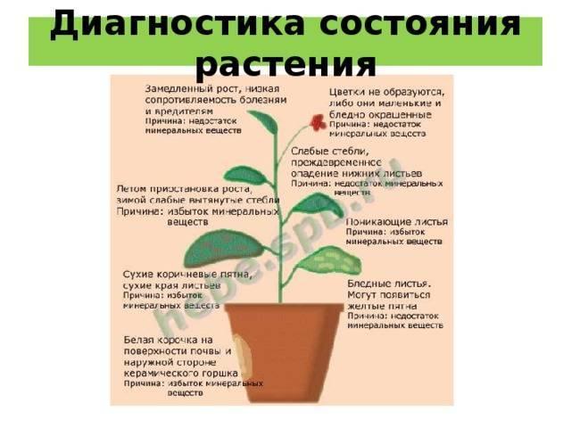 Выращивание пахистахиса и уход за ним в домашних условиях