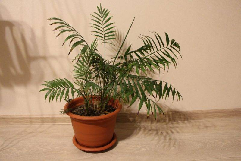 Пальма хамедорея: уход в домашних условиях, фото цветения, особенности размножения, польза