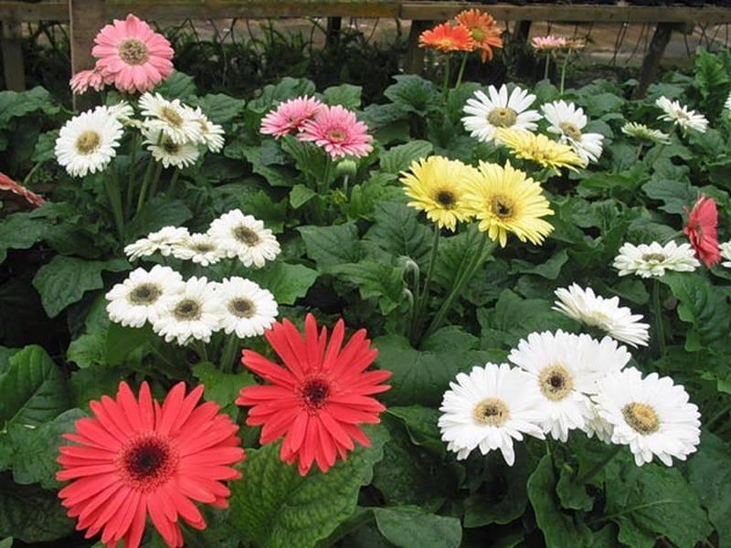 Гербера садовая: посадка и уход в открытом грунте на даче, в саду