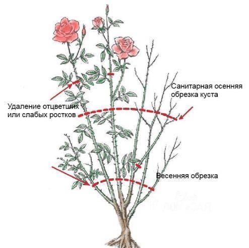 Английские розы остина – царственные бутоны в облаке аромата