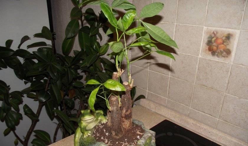 Уход за пахистахисом в домашних условиях: размножение и пересадка цветка