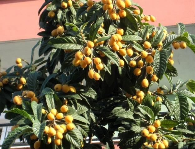 Как растёт кавказская мушмула?