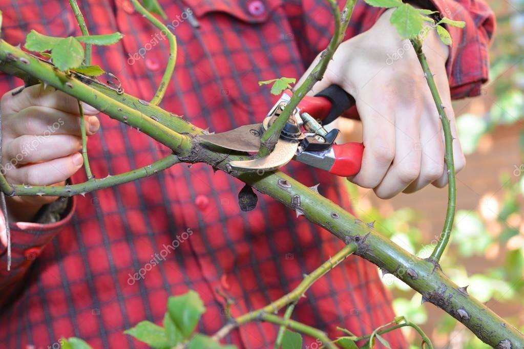 Обрезка роз осенью для начинающих в зависимости от вида. сроки обрезки