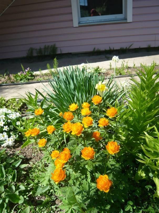 Выращивание брахикомы иберисолистной из семян: посадка и уход в открытом грунте