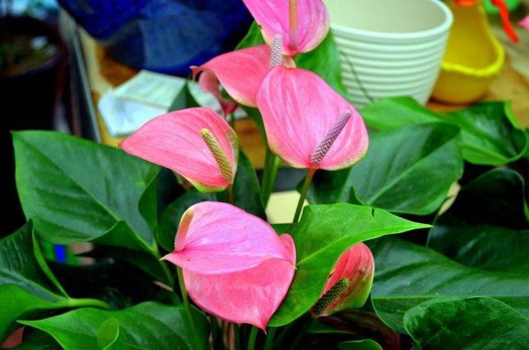 Цветок антуриум красный: уход в домашних условиях