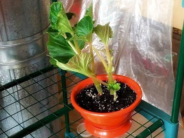О выращивании бегонии: размножение листом, черенками, из семян или рассадой