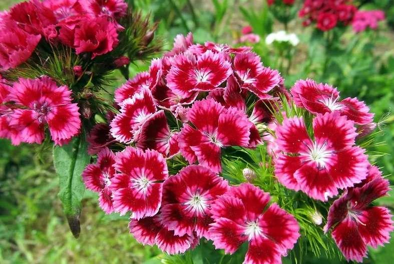 Гвоздика многолетняя: виды, сорта и выращивание