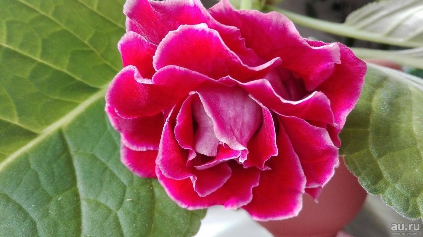 Глоксиния махровая — популярные сорта цветка