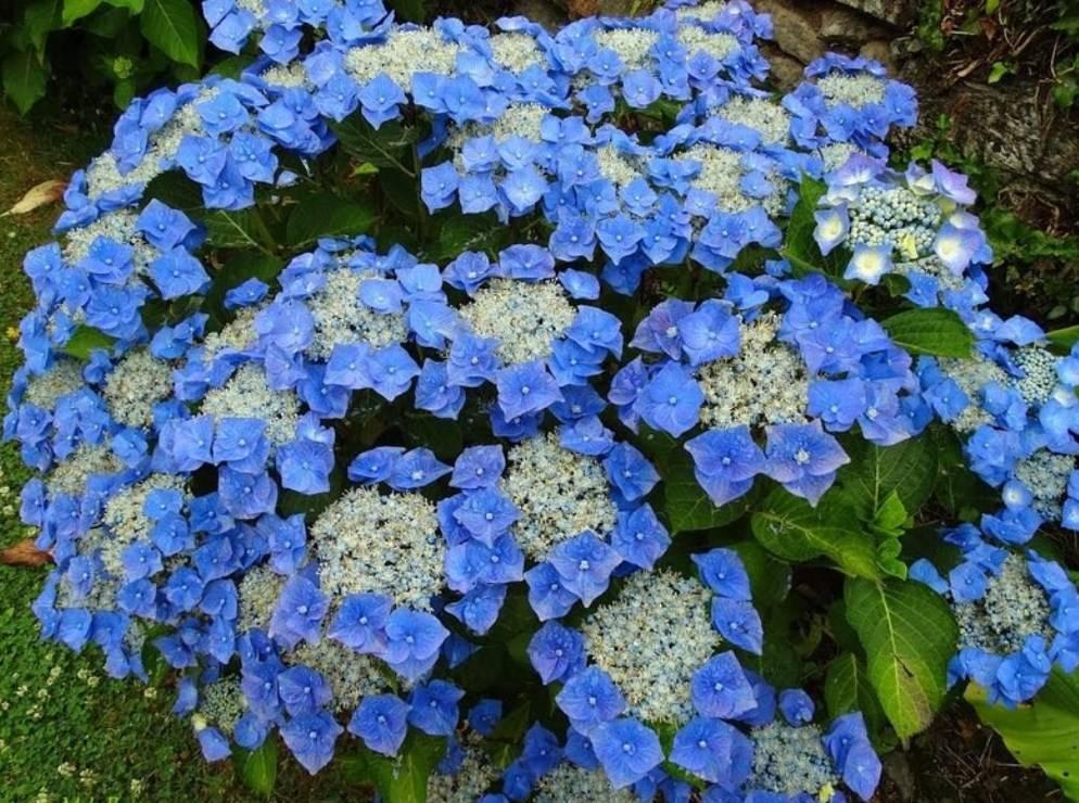 Почва для гортензии садовой и комнатной, состав, кислотность