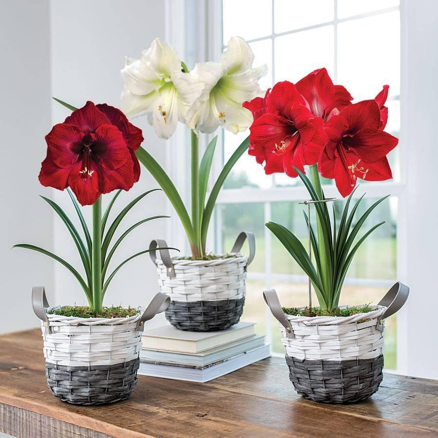 Цветы амариллис — уход в домашних условиях