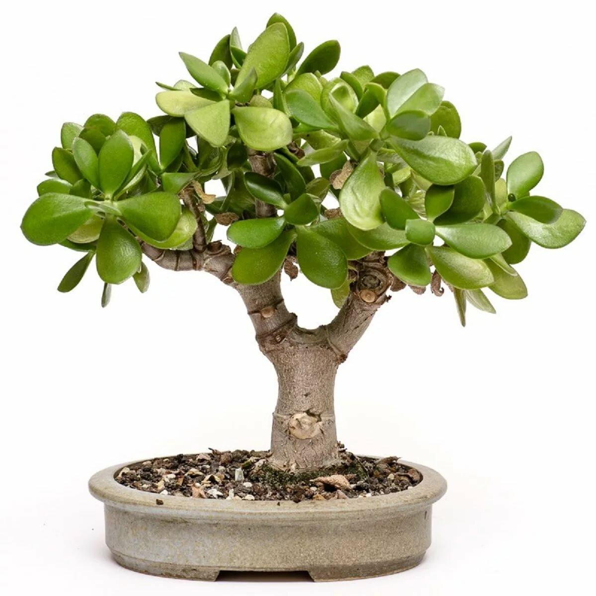 Денежное дерево — толстянка или крассула. уход в домашних условиях