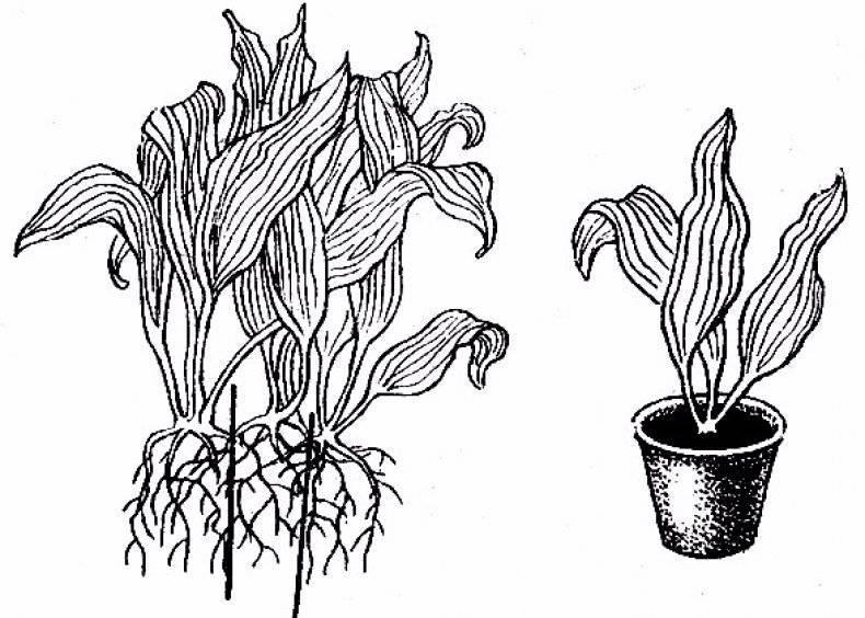Спатифиллум — пересадка цветка в домашних условиях