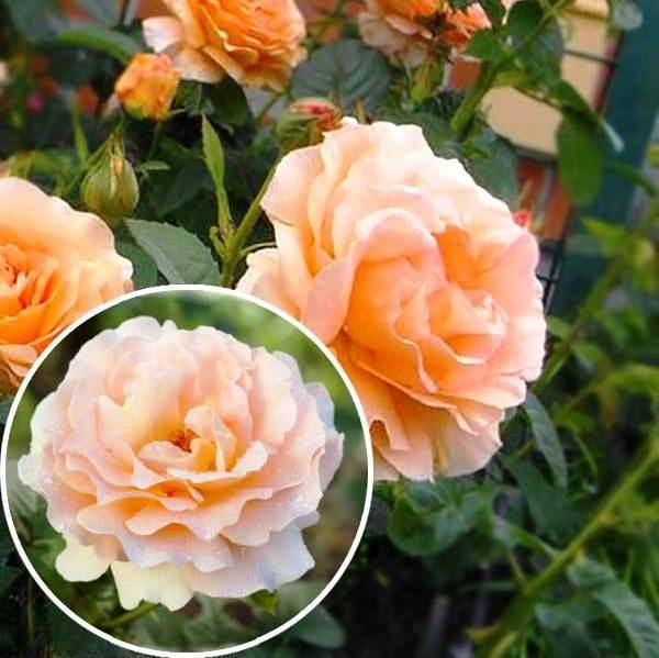 Плетистая роза «полька» (18 фото): описание сорта «полька» (polka), особенности разновидности «полька бабочка»