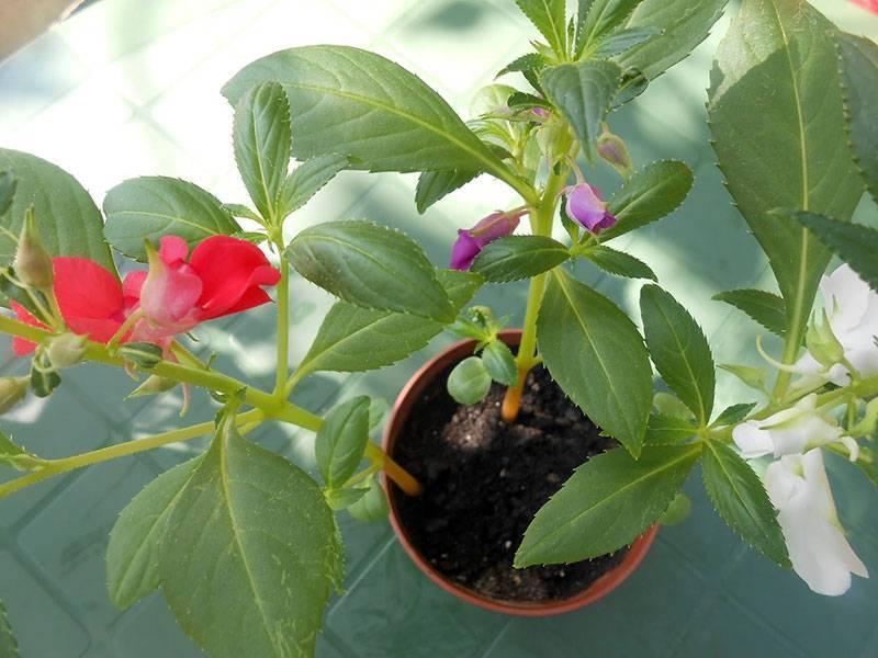 Как вырастить рассаду из семян бальзамина в домашних условиях?