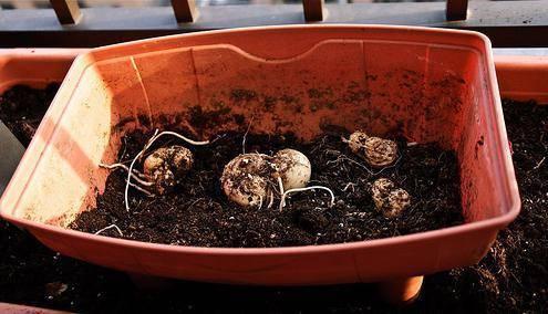 Каллы — выращивание в саду, посадка и уход в открытом грунте ?