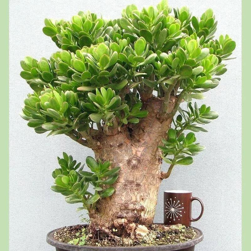 Толстянка (денежное дерево): как ухаживать и размножать в домашних условиях, пересадка