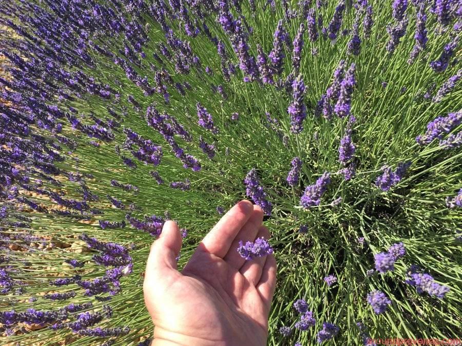 В какое время цветет лаванда во франции. как цветут лавандовые поля во франции