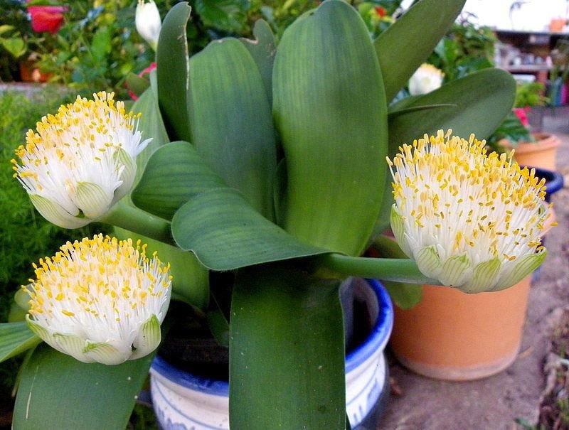 Цветок гемантус – уход: полив, пересадка, подкормка. виды гемантуса