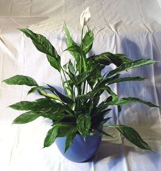 О домаших спатифиллумах, размножении черенками, отростками, листьями, семенами