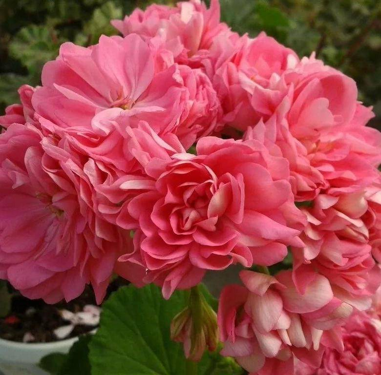 Пеларгония махровая: выращивание и уход в домашних условиях