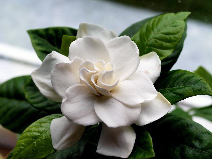 Гардения в цвету — как выглядит комнатное и уличное растение