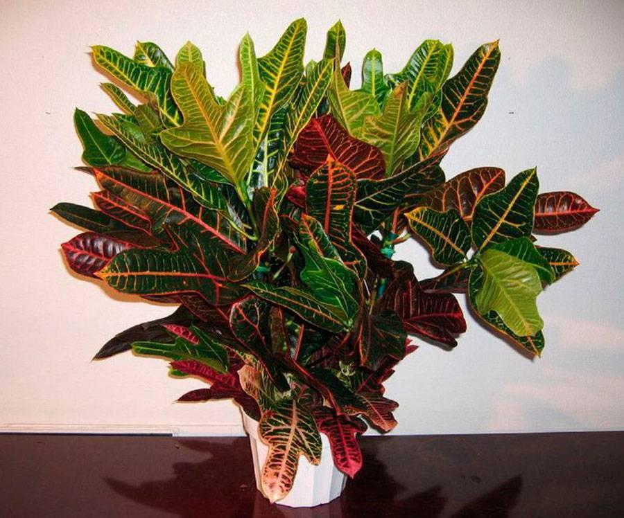 Кодиеум: виды, уход за растением в домашних условиях