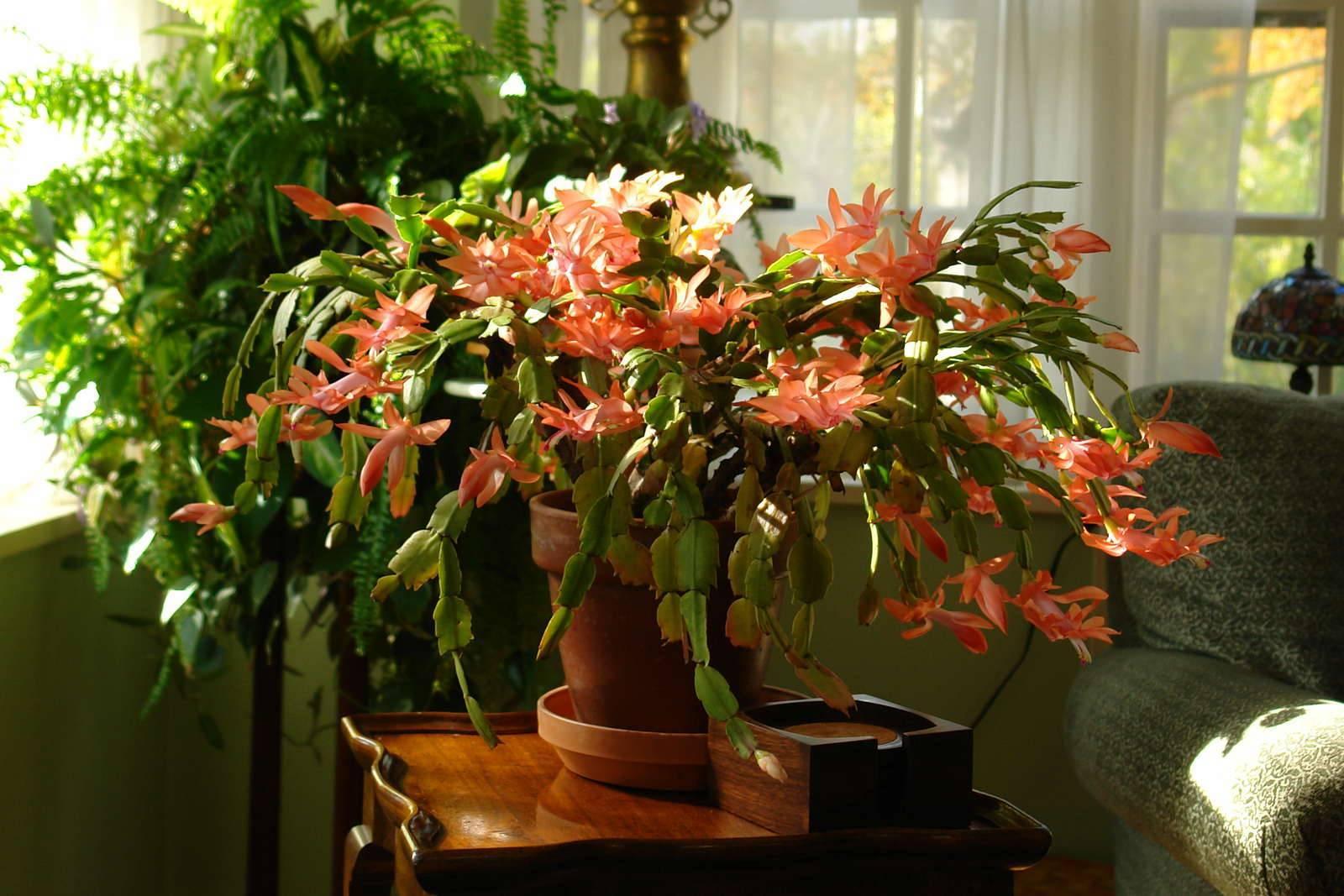 Выращивание комнатного растения эсхинантуса