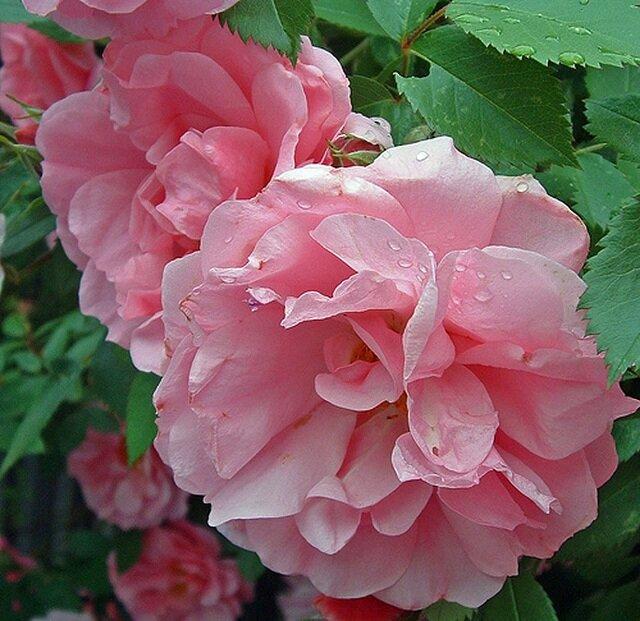 Роза аделаида худлесс (adelaide hoodless)