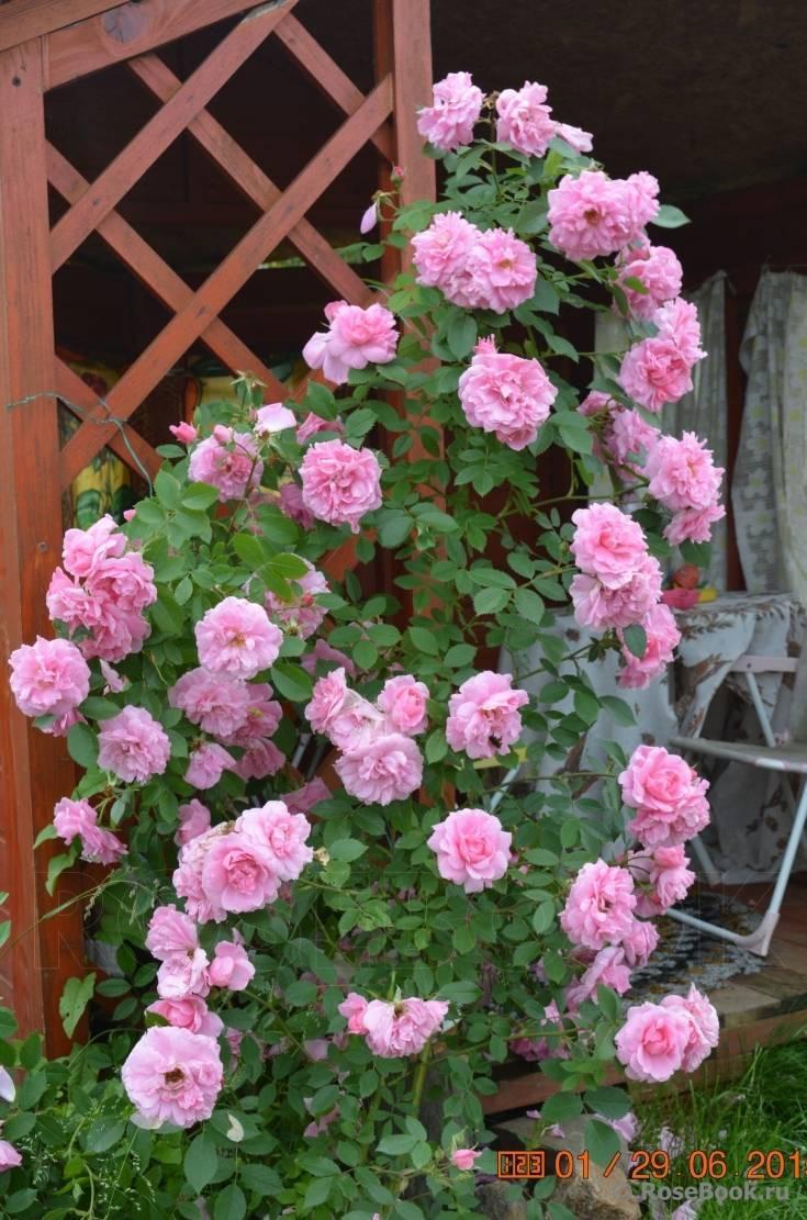 О розах канадских парковых: описание и характеристики разновидностей и сортов