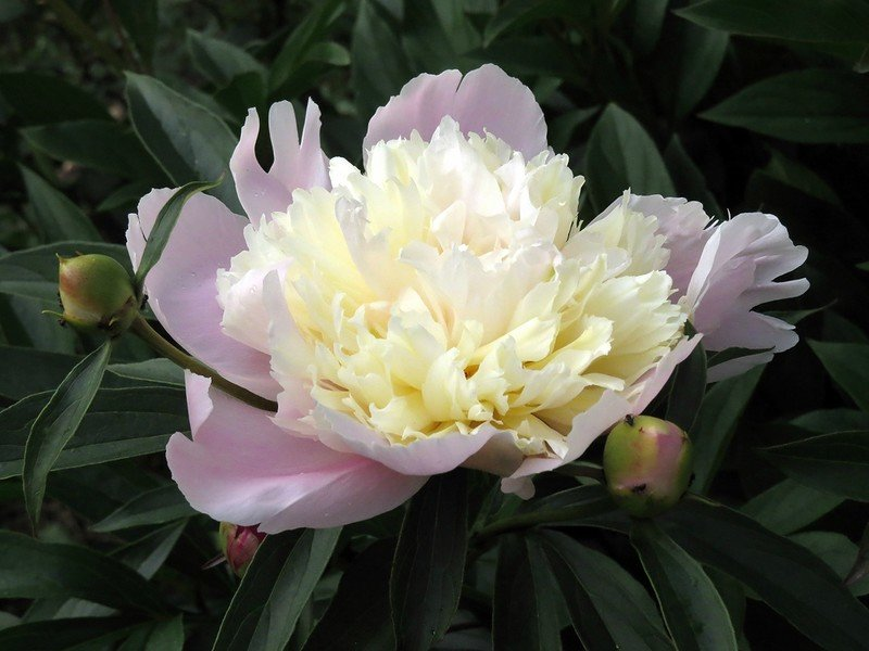 Пионы-патио: разновидности и их выращивание