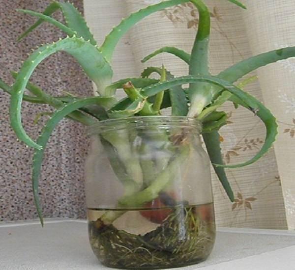 Размножение столетника в домашних условиях: все о выращивании алоэ древовидного, а именно как посадить без корней, вырастить и укоренить отросток и сажать черенком?