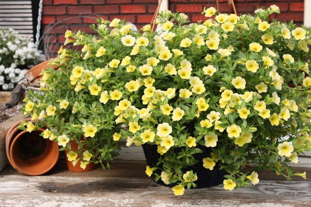 Лобелия ампельная выращивание в горшке, посадка и уход в домашних условиях