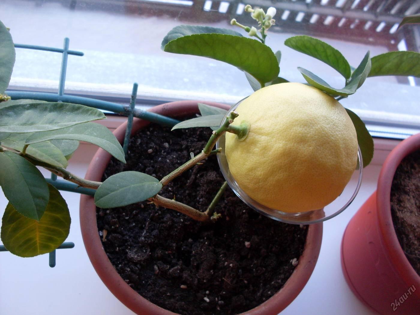 Комнатный лимон из косточки: секреты выращивания