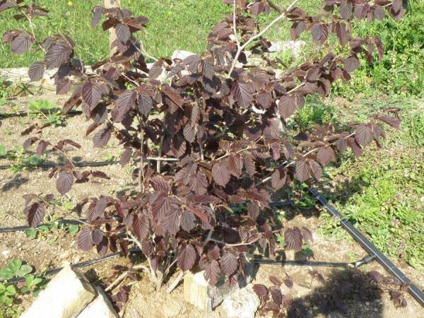Выращивание лещины обыкновенной: особенности ухода, вредители, самые востребованные сорта