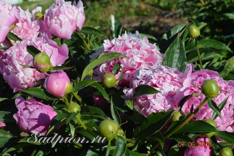 Пион карл розенфельд (paeonia karl rosenfield) — посадка и уход за цветком