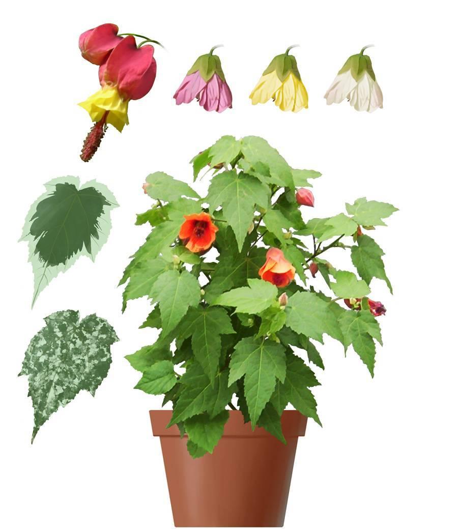Комнатный абутилон: выращивание из семян