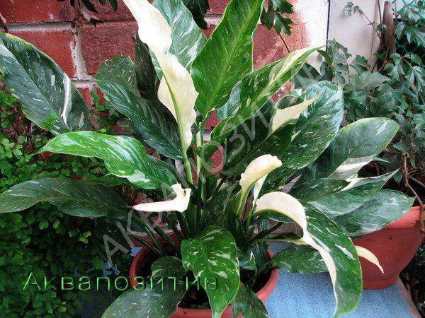 Цветы спатифиллум: виды, фото и уход