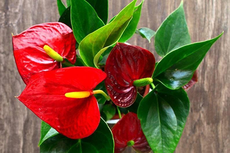 Мужской цветок антуриум: как заставить его цвести и принести в дом счастье