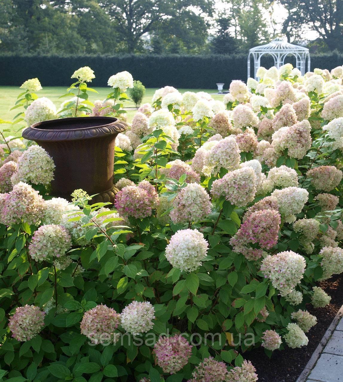 Посадка гортензии в саду в открытый грунт и уход за шаровидными цветами